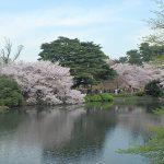 新宿御苑 桜の花見シーズン 一人旅