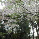 上野公園、桜の花見