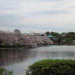 不忍池の桜の花見